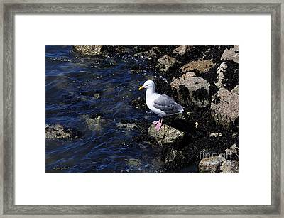 Western Gull On Rocks Framed Print
