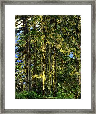 Western Hemlock And Lichen, Temperate Framed Print