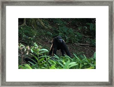 Western Lowland Gorilla, Dzebe Bai Framed Print by Pete Oxford
