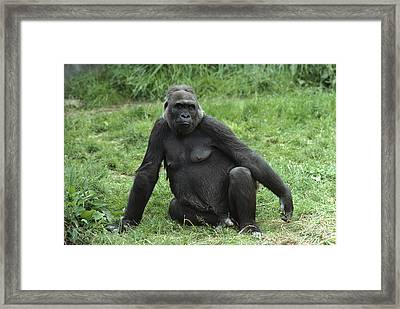 Western Lowland Gorilla Female Framed Print by Gerry Ellis