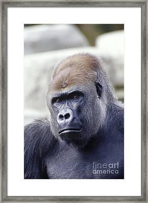 Western Lowland Gorilla Framed Print by Gregory G. Dimijian