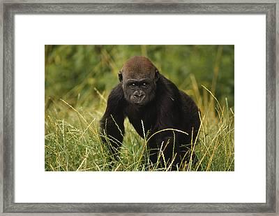 Western Lowland Gorilla Juvenile Framed Print by Gerry Ellis