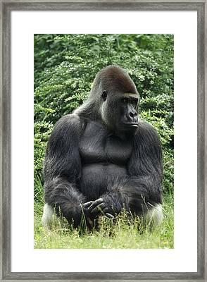 Western Lowland Gorilla Male Framed Print