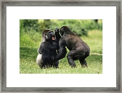 Western Lowland Gorilla Males Fighting Framed Print