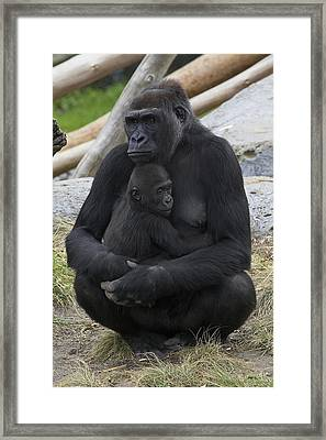 Western Lowland Gorilla Mother And Baby Framed Print by San Diego Zoo