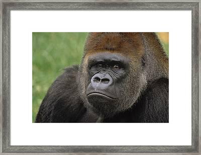 Western Lowland Gorilla Silverback Framed Print