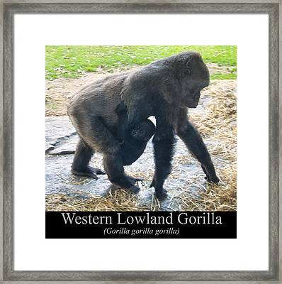 Western Lowland Gorilla With Baby Framed Print