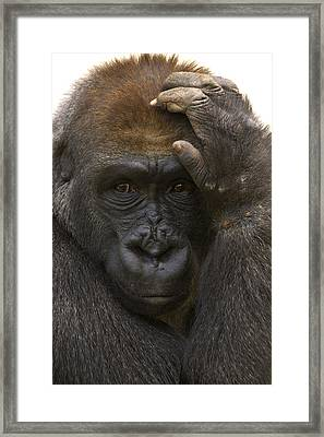 Western Lowland Gorilla With Hand Framed Print by San Diego Zoo