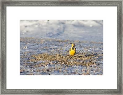 Western Meadowlark Framed Print by Alan Hutchins