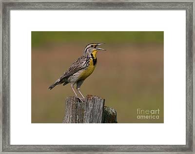 Western Meadowlark.. Framed Print