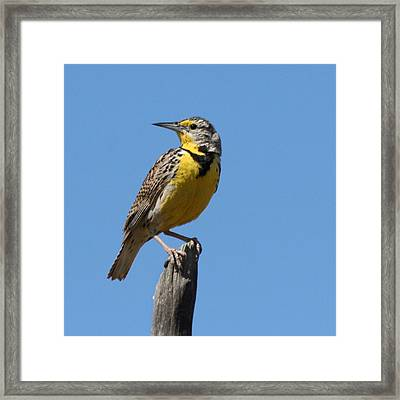 Framed Print featuring the photograph Western Meadowlark Perching by Bob and Jan Shriner