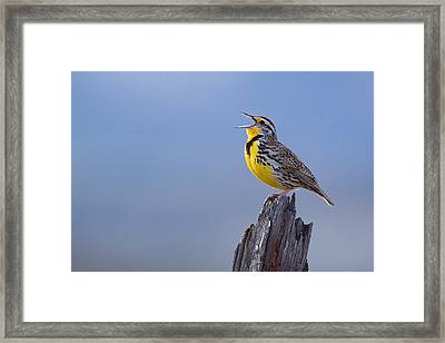 Western Meadowlark Singing Framed Print