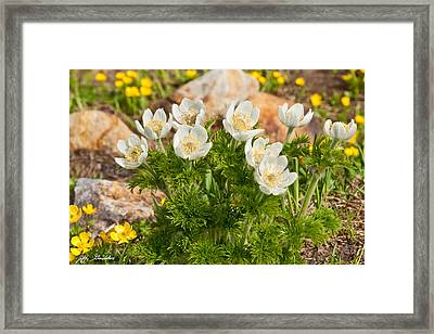 Framed Print featuring the photograph Western Pasqueflower And Buttercups Blooming In A Meadow by Jeff Goulden