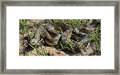 Western Plains Hognose Snake Framed Print by Karen Slagle