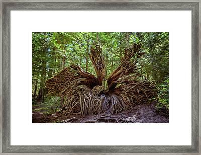 Western Red Cedar Tree Root System Framed Print