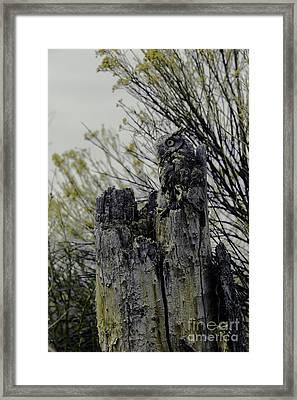 Western Screech Owl Framed Print by Catherine Fenner