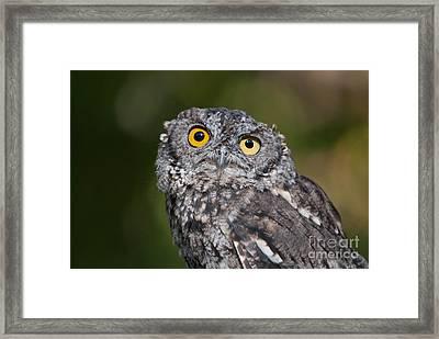 Western Screech Owl No. 3 Framed Print