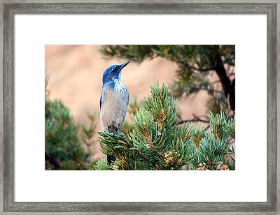 Western Scrub Jay Framed Print