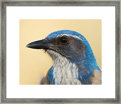 California Scrub-jay Framed Print