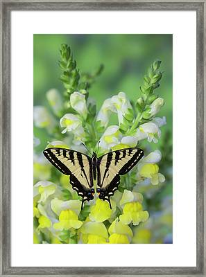 Western Tiger Swallowtail Butterfly Framed Print by Darrell Gulin