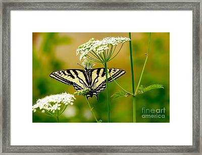 Western Tiger Swallowtail Butterfly Framed Print by Sharon Talson