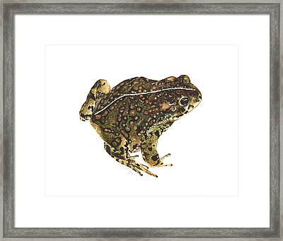 Western Toad Framed Print by Cindy Hitchcock