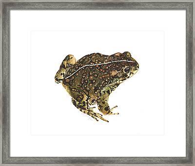 Western Toad Framed Print