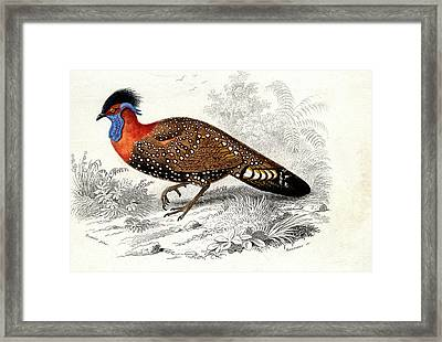 Western Tragopan Framed Print by Collection Abecasis