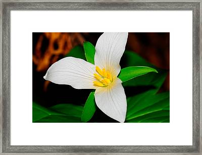Western White Trillium Framed Print by Bonnie Fink