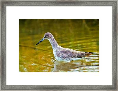 Western Willet Wading In Water Framed Print