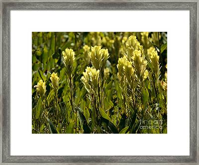 Western Yellow Paintbrush Framed Print by Robert Bales