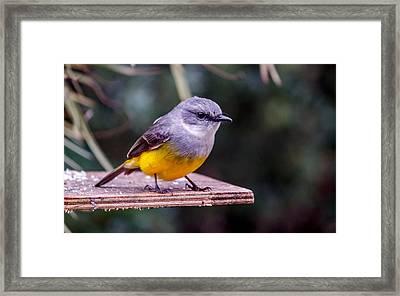 Western Yellow Robin Framed Print