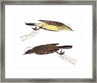 Western Yellow Wagtail Framed Print by Natural History Museum, London