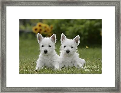 Westie Puppies Framed Print by Rolf Kopfle