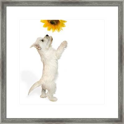 Westie Puppy And Sunflower Framed Print by Natalie Kinnear