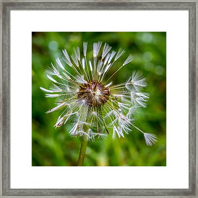 Framed Print featuring the photograph Wet Dandelion. by Gary Gillette