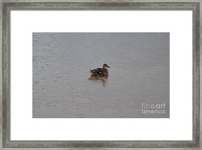 Wet Duck Framed Print by Scott Lyons