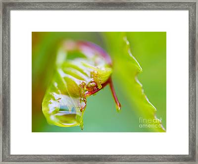 Wet Grape Leaf  Framed Print