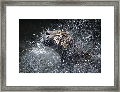 Wet Jaguar  Framed Print by Shoal Hollingsworth