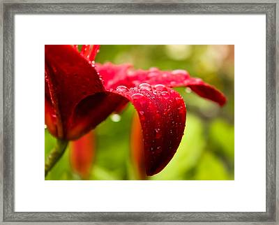 Wet Lily Framed Print