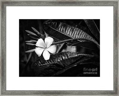 Wet Plumeria Flower Framed Print by Sabrina L Ryan
