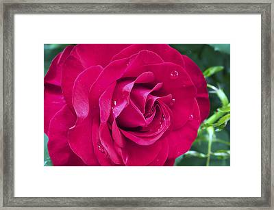 Wet Rose Framed Print by Kenneth Feliciano