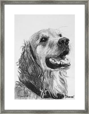Wet Smiling Golden Retriever Shane Framed Print