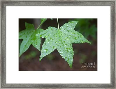 Wet Sweetgum Leaf Framed Print by Jonathan Welch