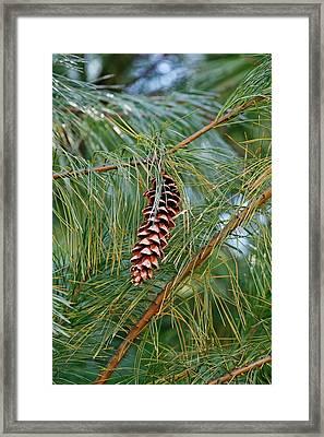Weymouth Pine (pinus Strobus) Framed Print by Dr. Nick Kurzenko