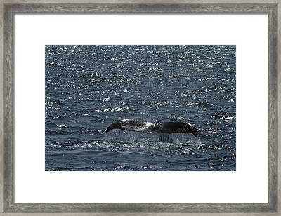 Whale Action Framed Print by Karol Livote