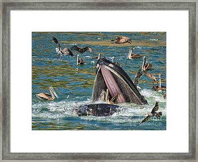 Whale Almost Eating A Pelican Framed Print by Alice Cahill