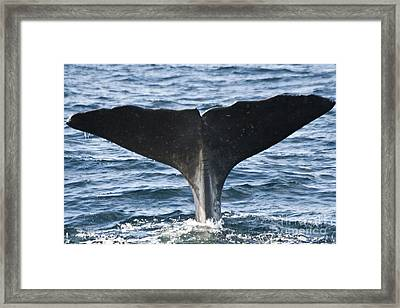 Whale Diving Framed Print by Heiko Koehrer-Wagner