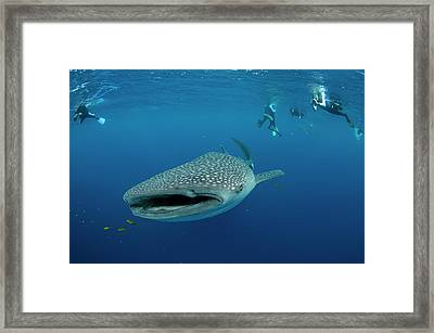 Whale Shark And People Framed Print by Pete Oxford