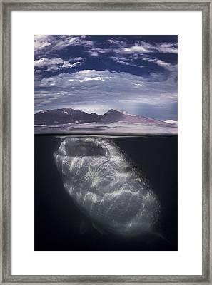 Whale Shark At Surface Framed Print